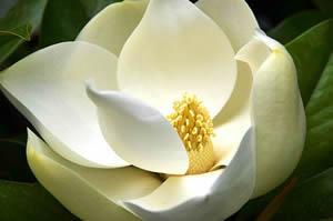 2theadvocate louisiana facts and trivia - Magnolia planta cuidados ...